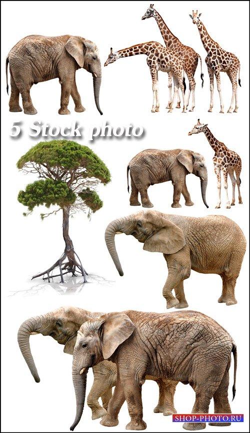 Слоны, жирафы, африканское дерево - растровый клипарт