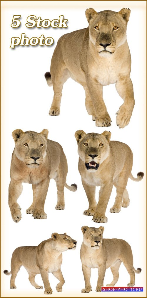 Львица, хищница, царица зверей - растровый клипарт