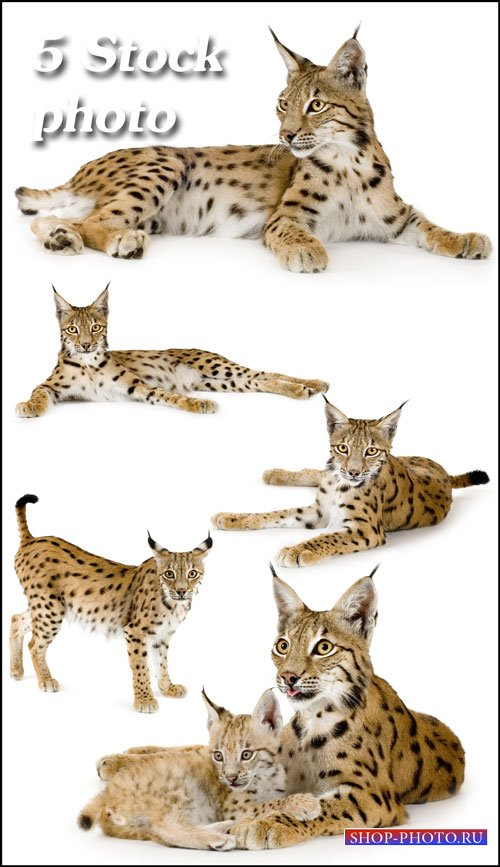 Рысь, животное из видов кошачьих - растровый клипарт