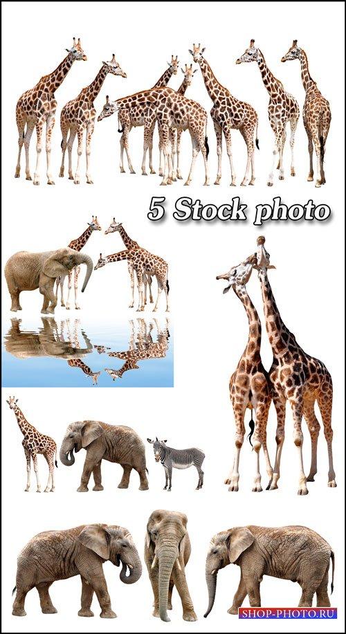 Животные, жираф, слон, зебра - растровый клипарт
