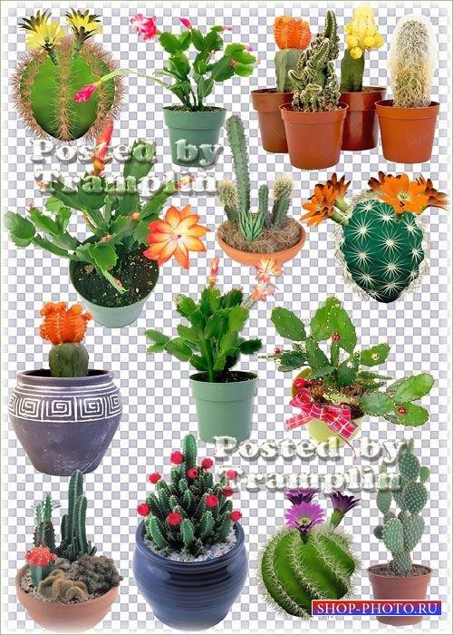 Подборка цветущих кактусов прозрачном фоне