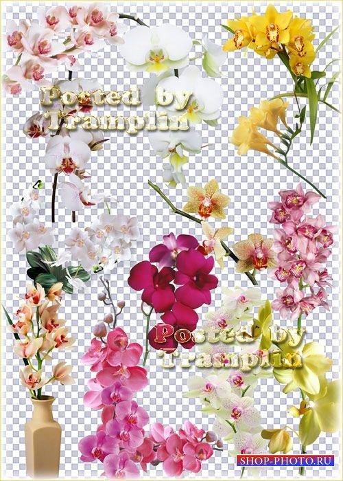 Клипарт на прозрачном фоне – Орхидеи