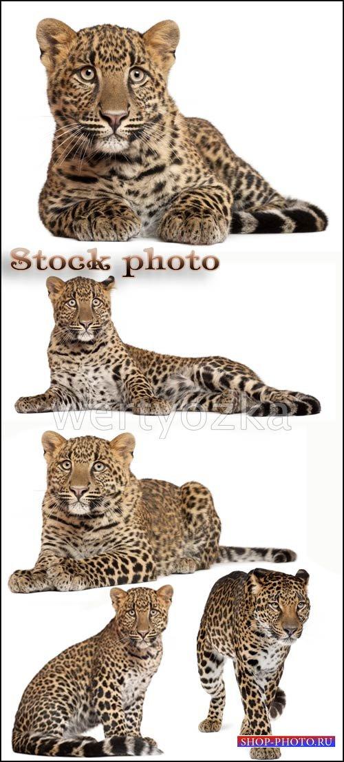 Леопард, хищник / Leopards, predatory cats - Raster clipart