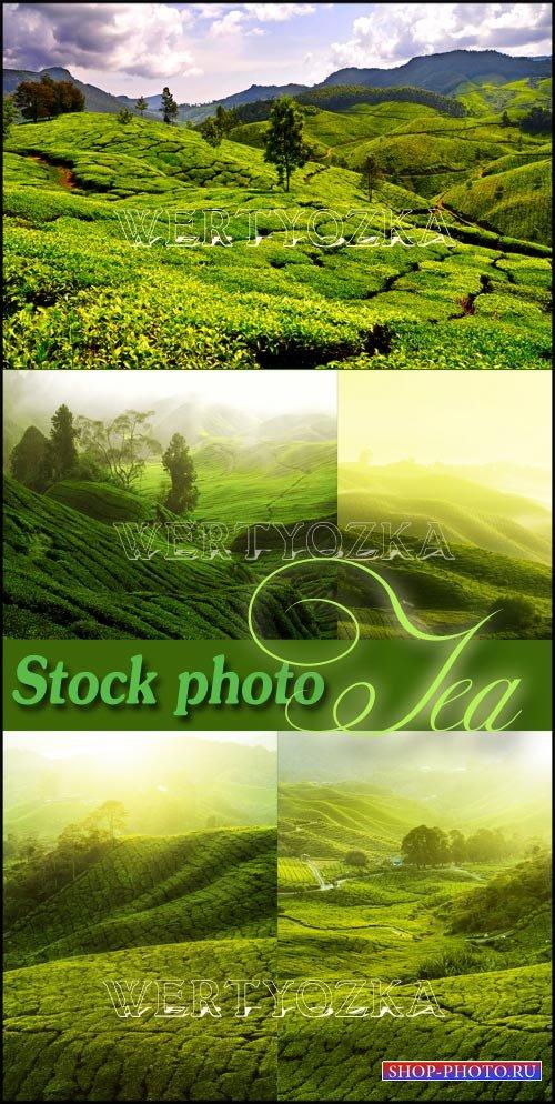 Чайные плантации на горных вершинах / Tea plantations, tea
