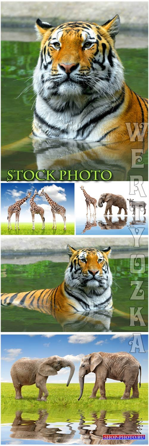 Тигр, слон, жираф, животные / Tiger, elephant, giraffe, animals - Raster clipart