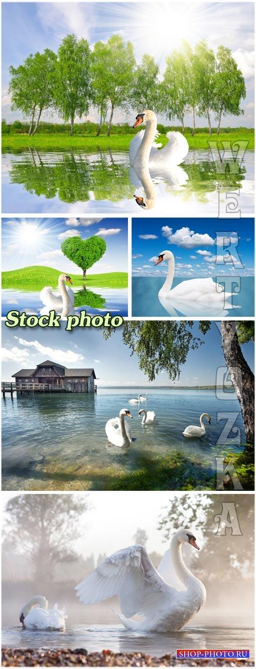 Белые лебеди / White swans - Raster clipart