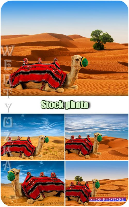 Верблюд в пустыне / Camel in the desert - Raster clipart