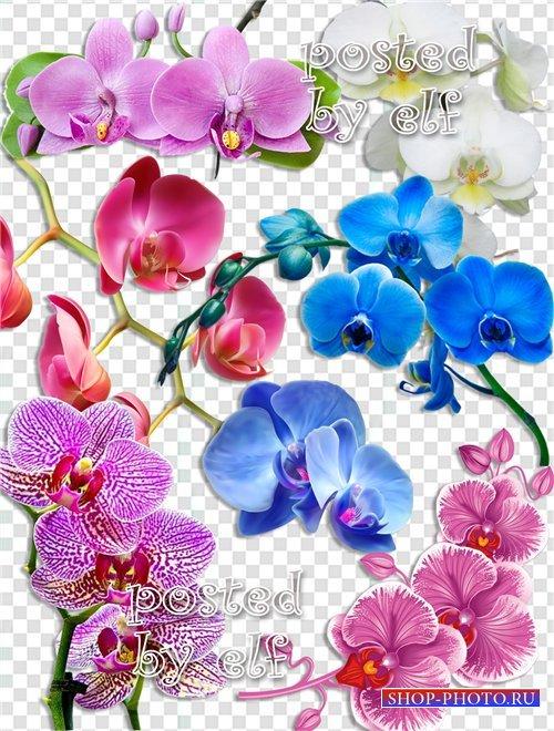 Орхидеи на прозрачном фоне