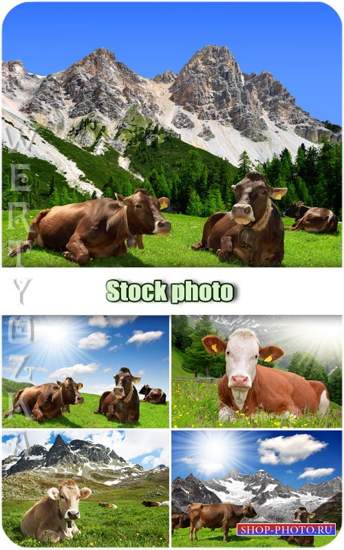 Животный мир, коровы /  Animal world, cows - Raster clipart