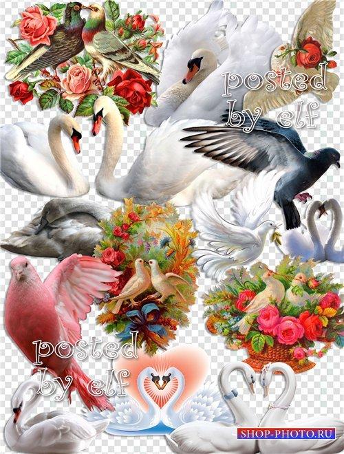 Клипарт в PNG - Лебеди и голуби