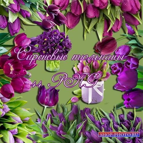 Клипарт - Сиреневые тюльпаны