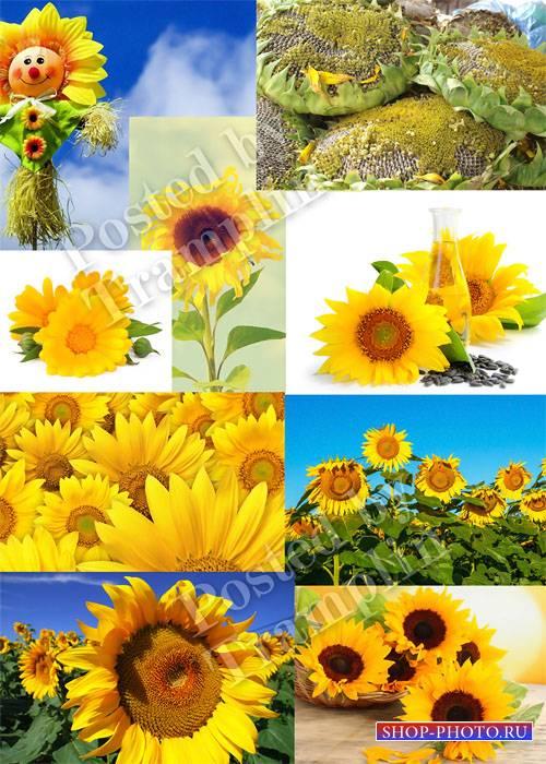 Подсолнухи - К солнцу тянутся они, Черных семечек полны