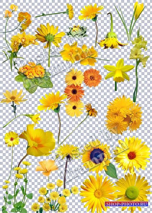 Желтые цветы на прозрачном фоне - Как Солнца лучики они светлы