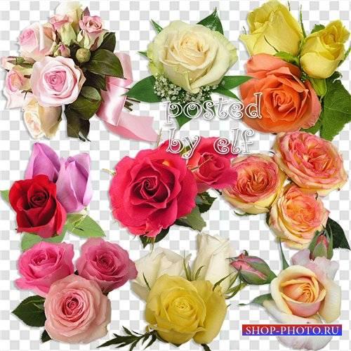 Клипарт без фона - Царственно божественная роза
