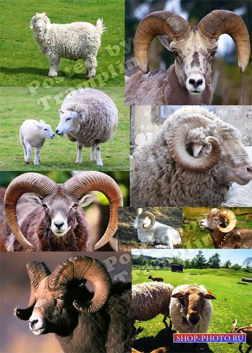 Овца, коза – символ 2015 года – Растровый клипарт
