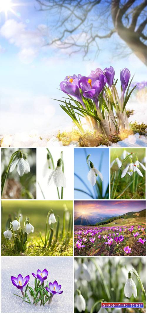 Crocuses, snowdrops - stock photos