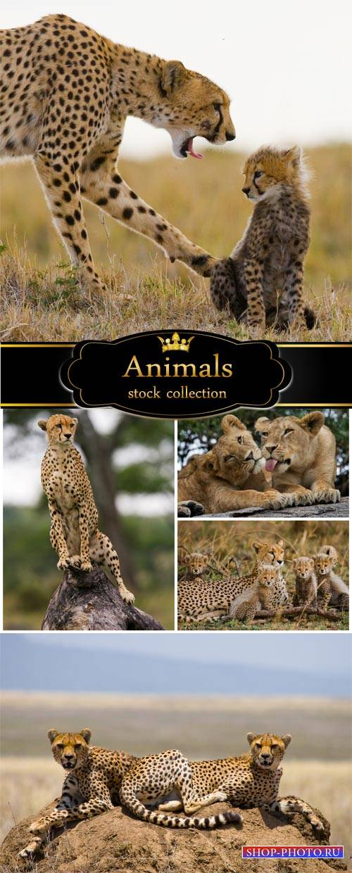 Carnivorous animals, jaguar - stock photos