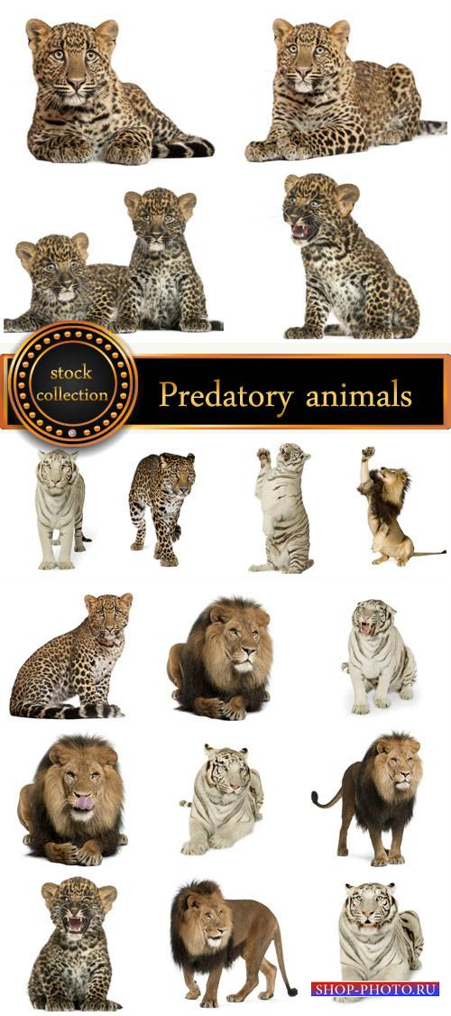 Predatory animals, lion, tiger - stock photos