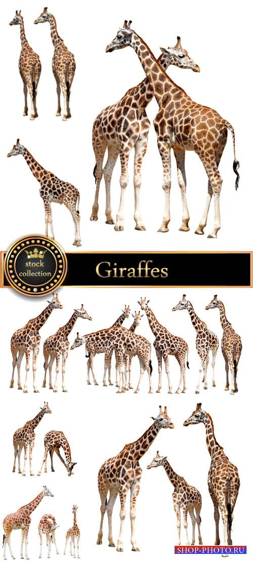 Giraffes, animals - stock photos