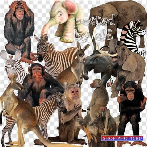 Клипарт - Обезьяны, зебры, слоны , кенгуру