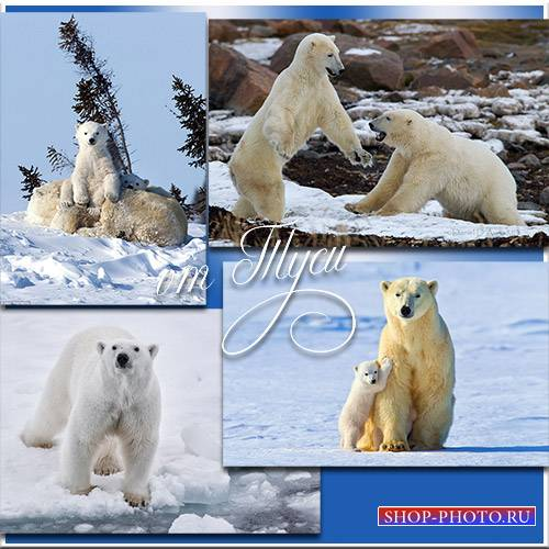 Клипарт - Полярные медведи – забавные соседи