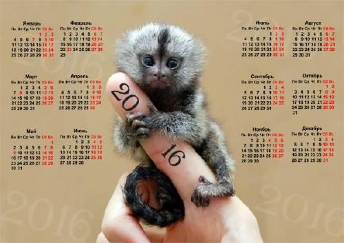 Настенный календарь - Крошечная обезьянка