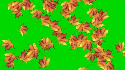 Футаж - Кленовые листья на хромакее