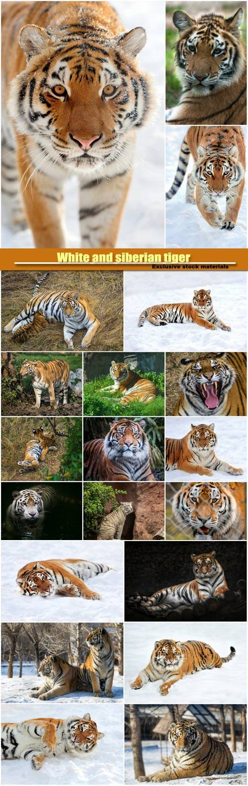 White and siberian tiger